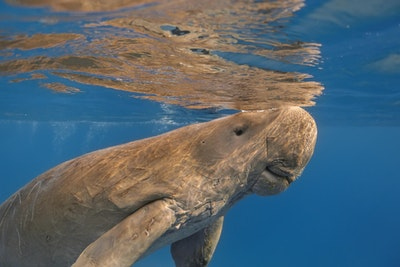 Dugong in open water
